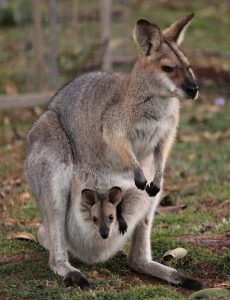 Kagaroo with joey in pouch