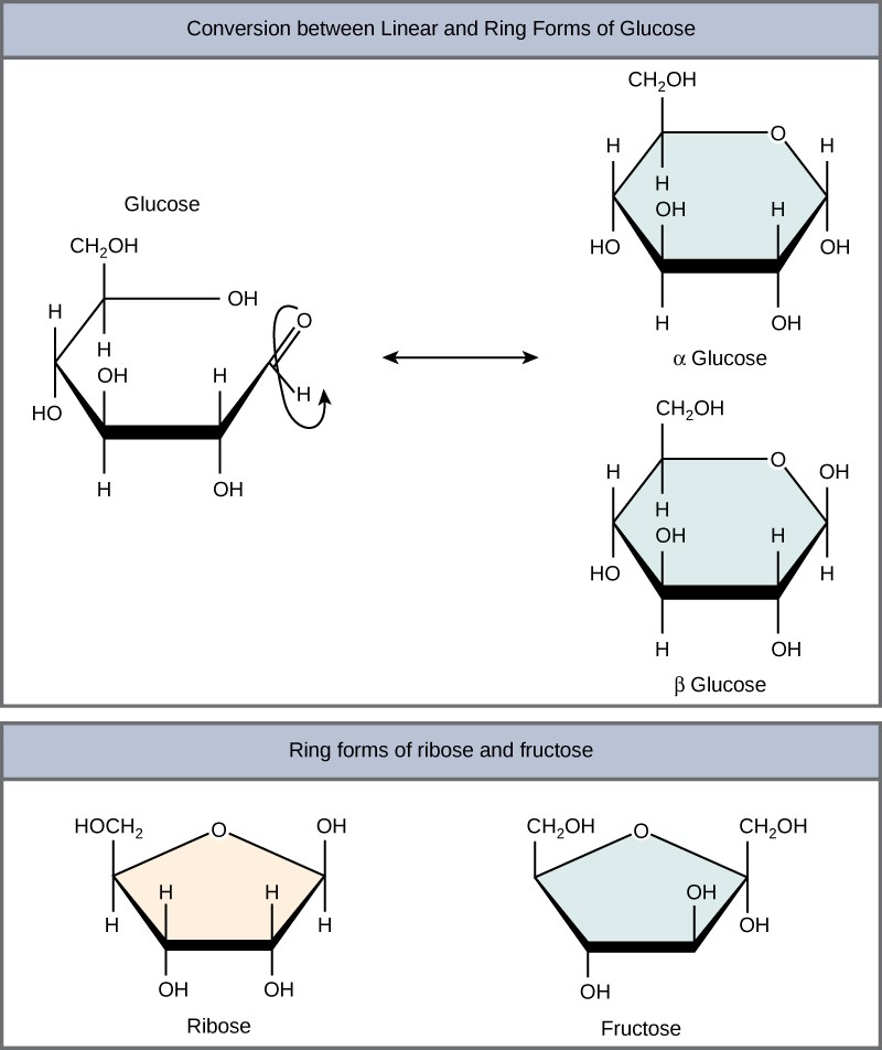 Conversion between linear and ring forms of glucose