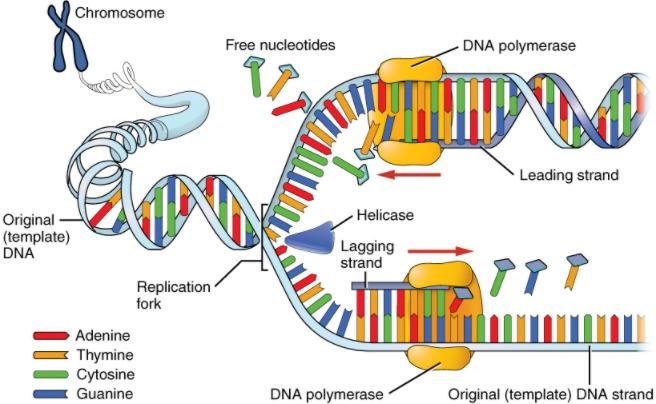 Diagram of DNA replication