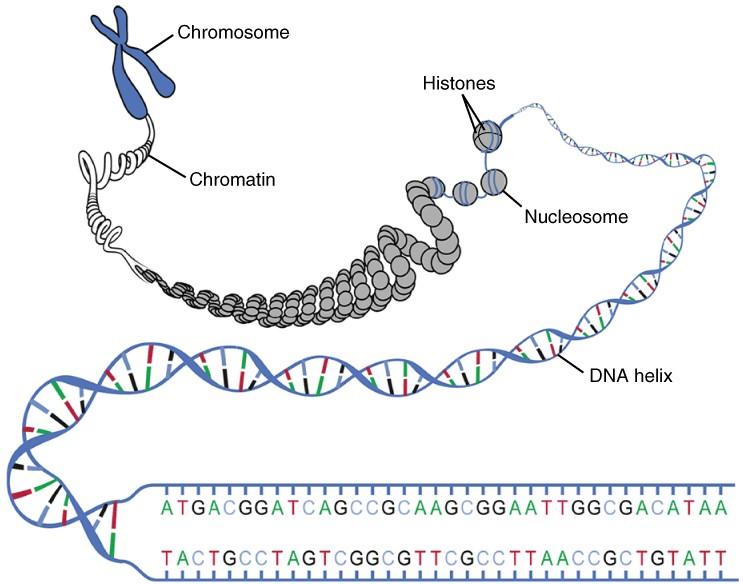 Diagram of DNA macrostructure