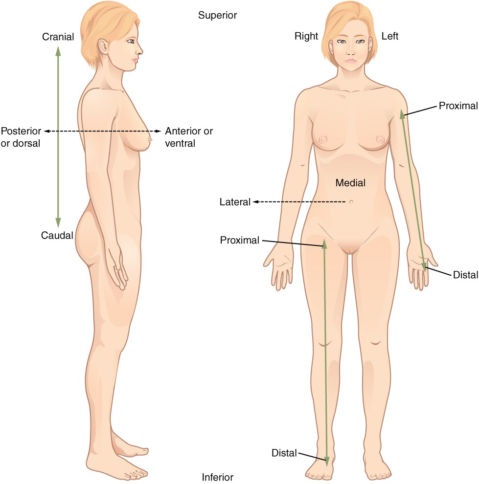 Directional terms applied to human body