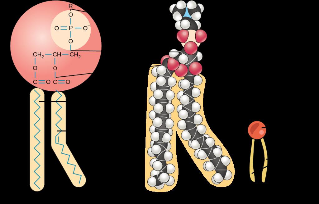 Diagram of Phospholipid