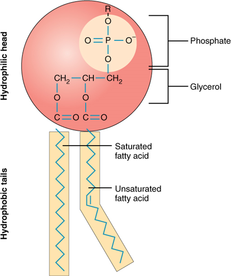 Diagram of Phospholipid structure