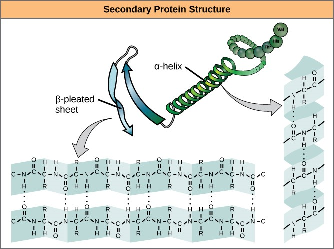 Secondary protein structure
