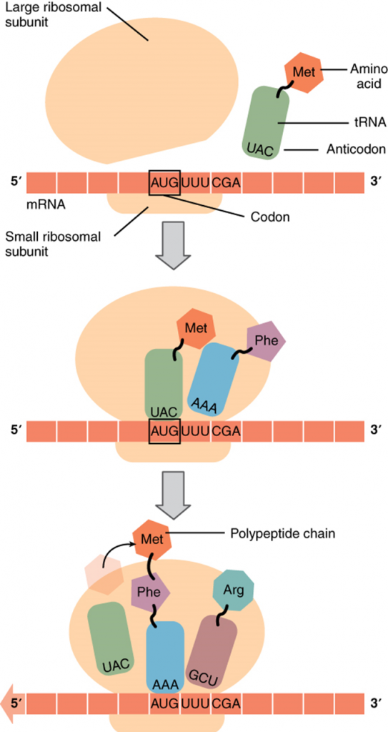 Diagram of Translation from RNA to protein