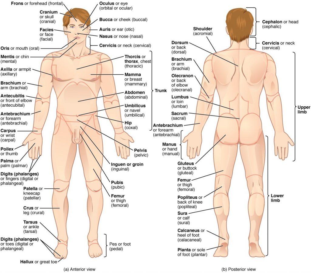 Regions of human body