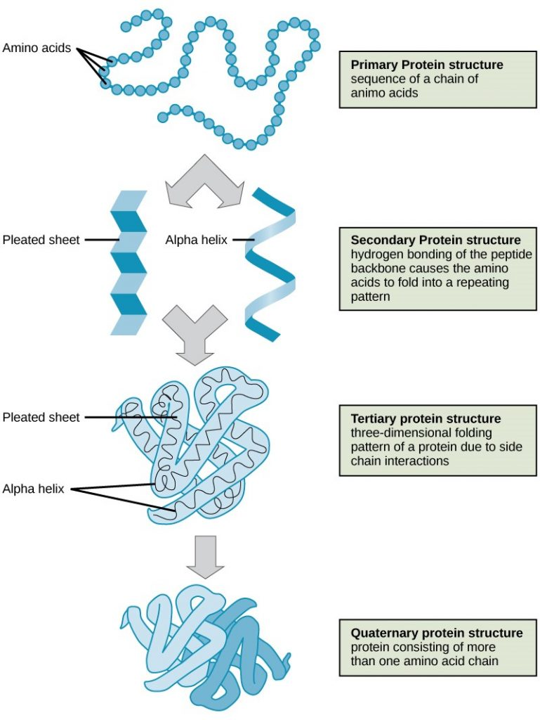 Protein structure levels.