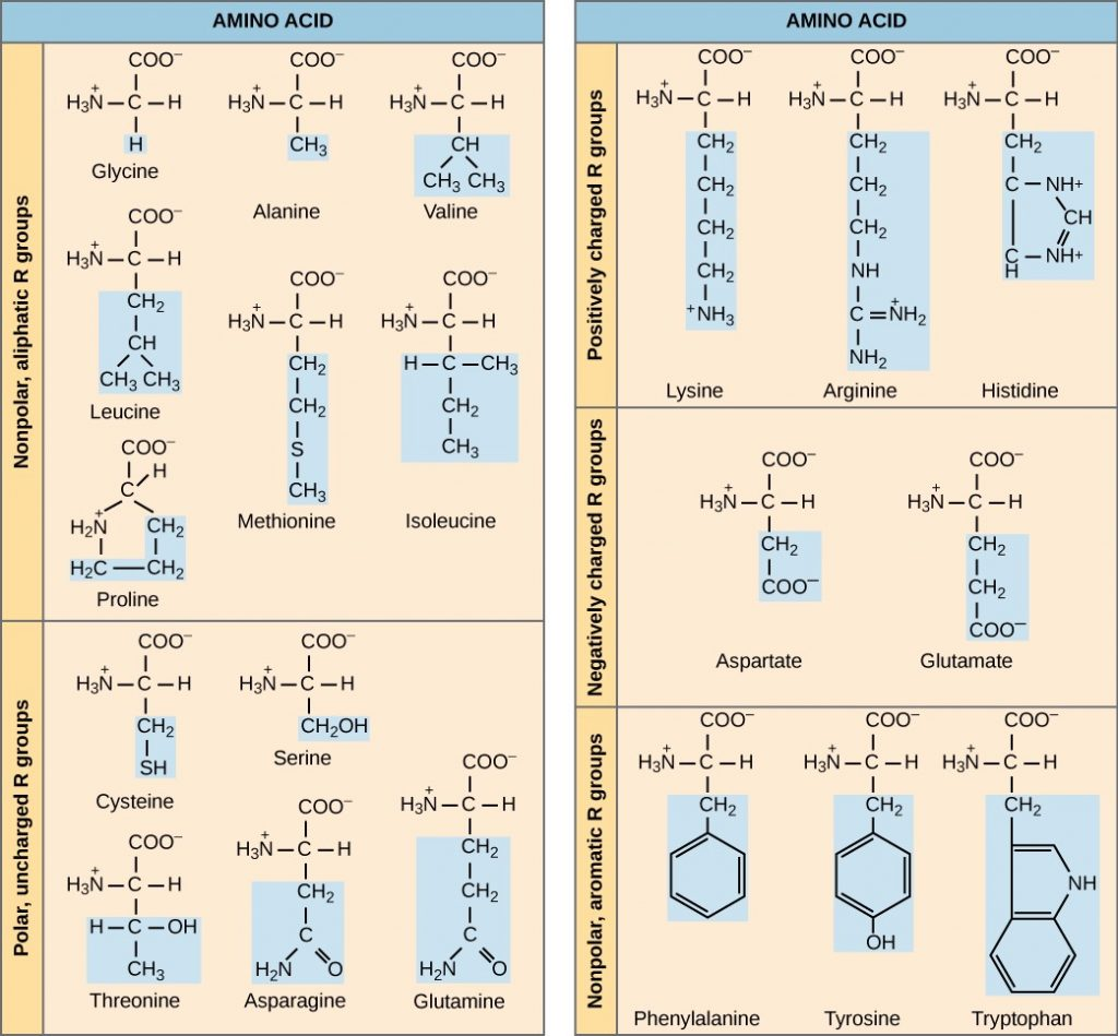 Diagram of Common amino acids