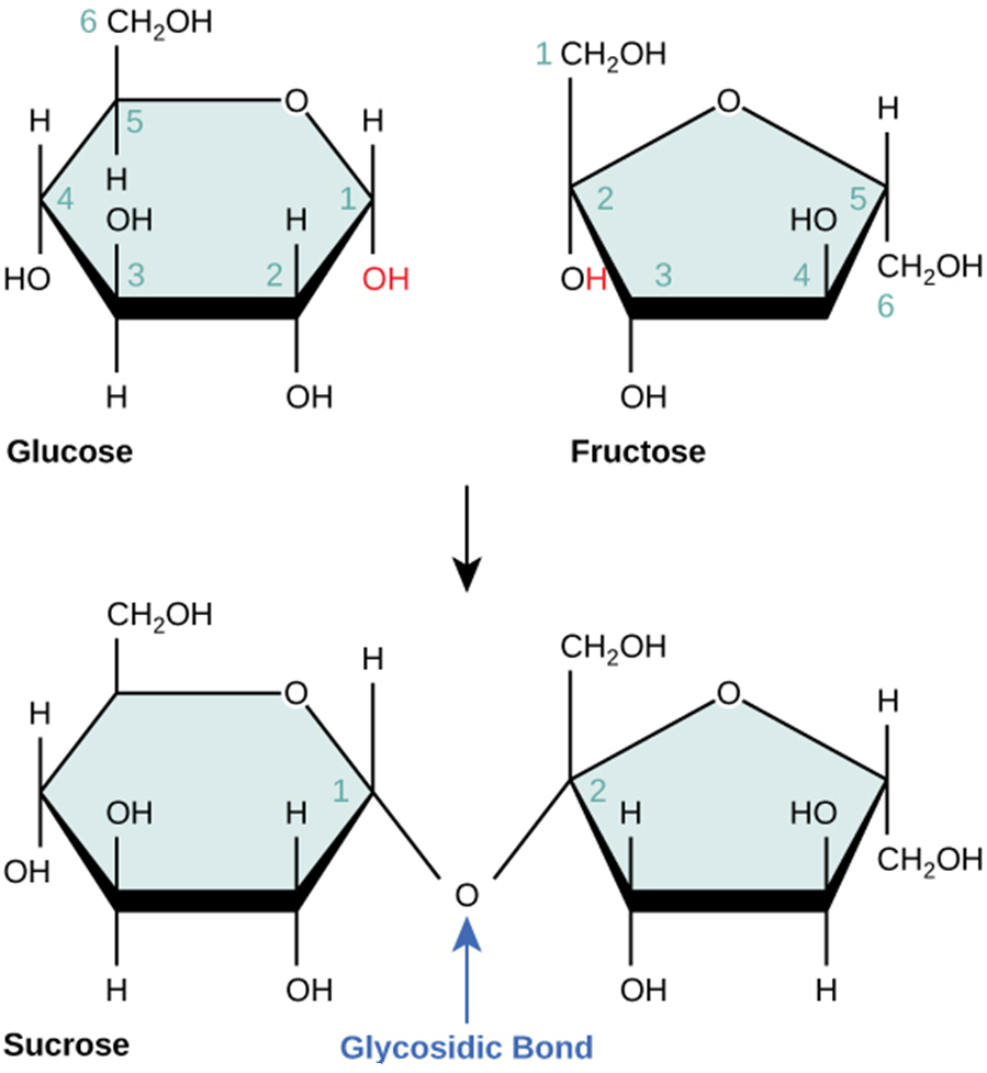Figure 2.2.4. Sucrose. Sucrose forms when a glucose monomer and a fructose monomer join in a dehydration reaction to form a glycosidic bond. In the process, a water molecule is lost. By convention, the carbon atoms in a monosaccharide are numbered from the terminal carbon closest to the carbonyl group. In sucrose, a glycosidic linkage forms between carbon 1 in glucose and carbon 2 in fructose.
