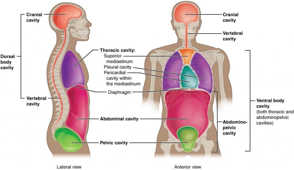 Diagram of body cavities