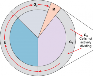 Diagram of the cycle of a cell