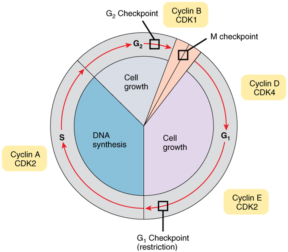 Diagram of control of cell cycle