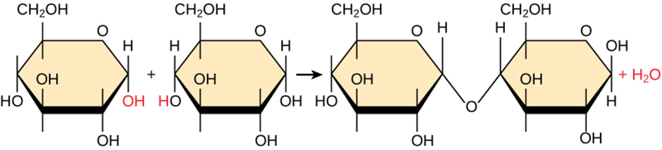 dehydration synthesis reaction