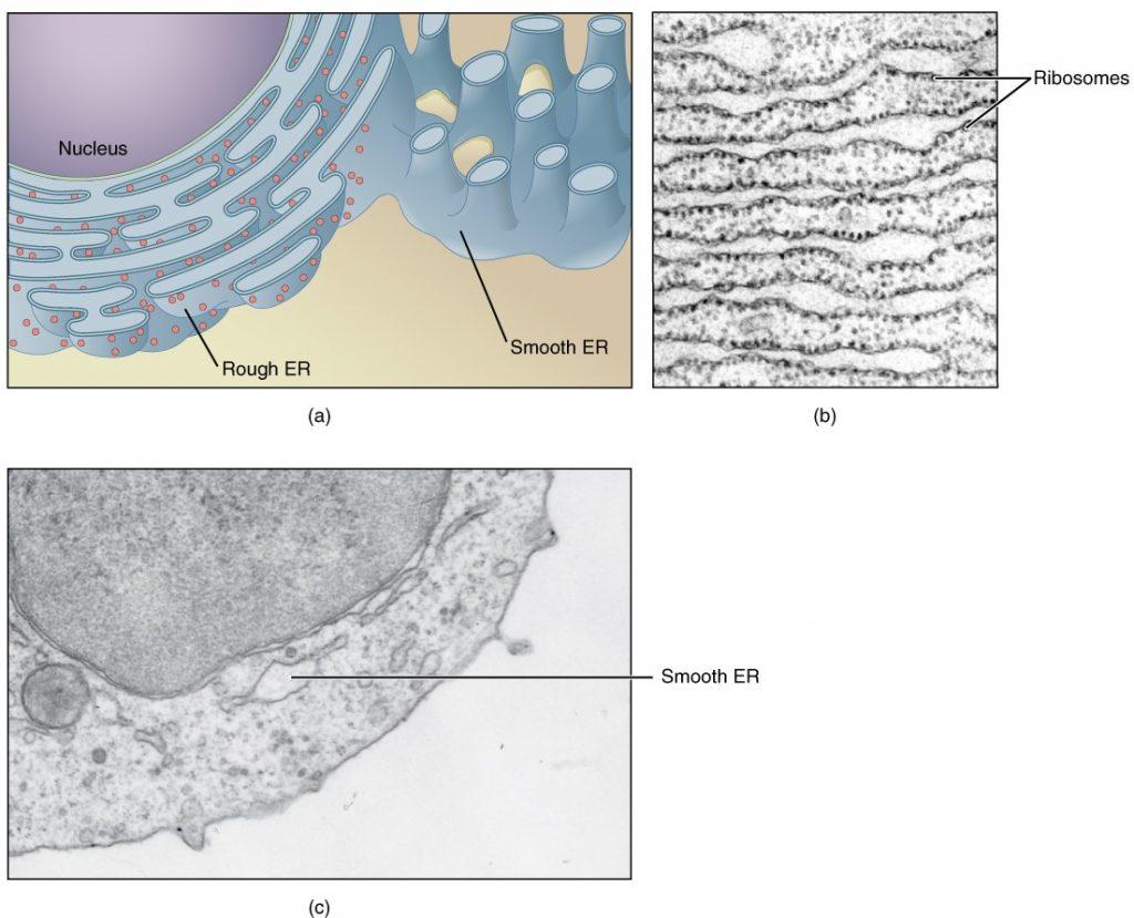 Endoplasmic reticulum diagram