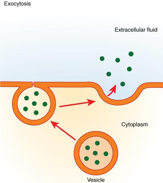 Exocytosis.