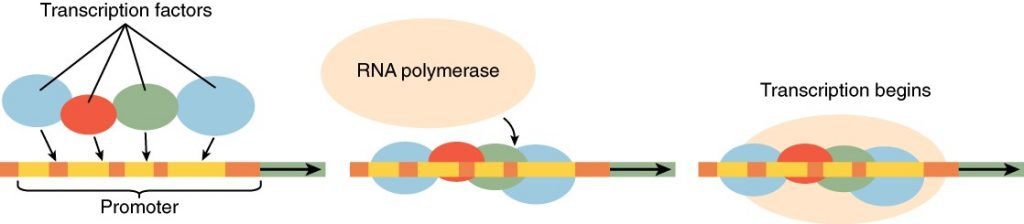 Diagram of gene expression regulation