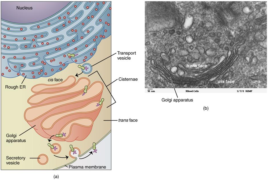 Golgi apparatus diagram