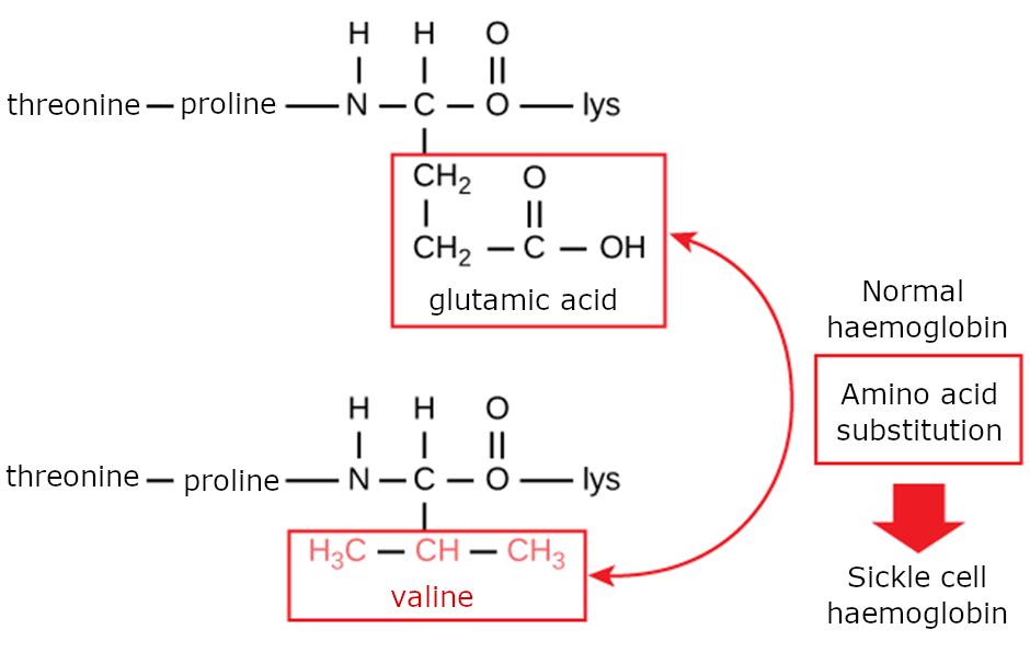 Haemoglobin amino acid composition