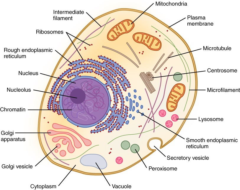 Prototypical human cell