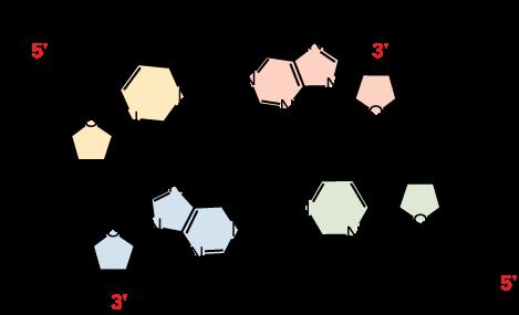 Hydrogen bonds in a double stranded DNA molecule.