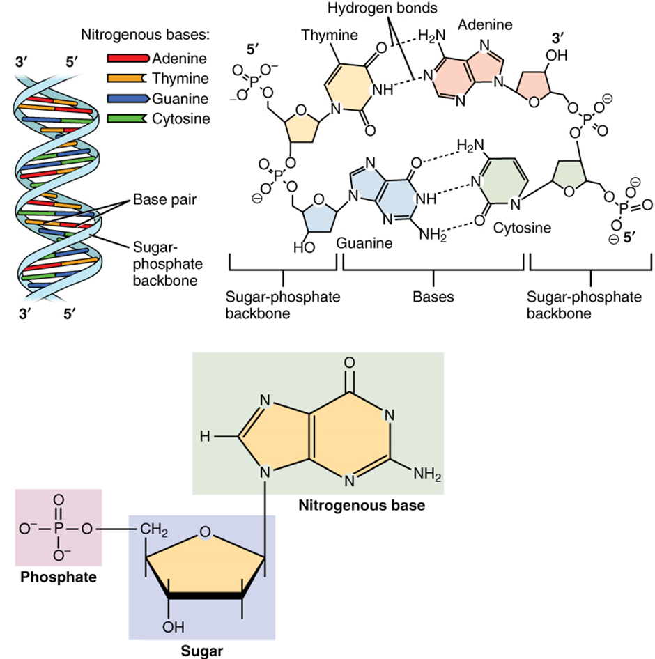 Diagram of Molecular structure of DNA