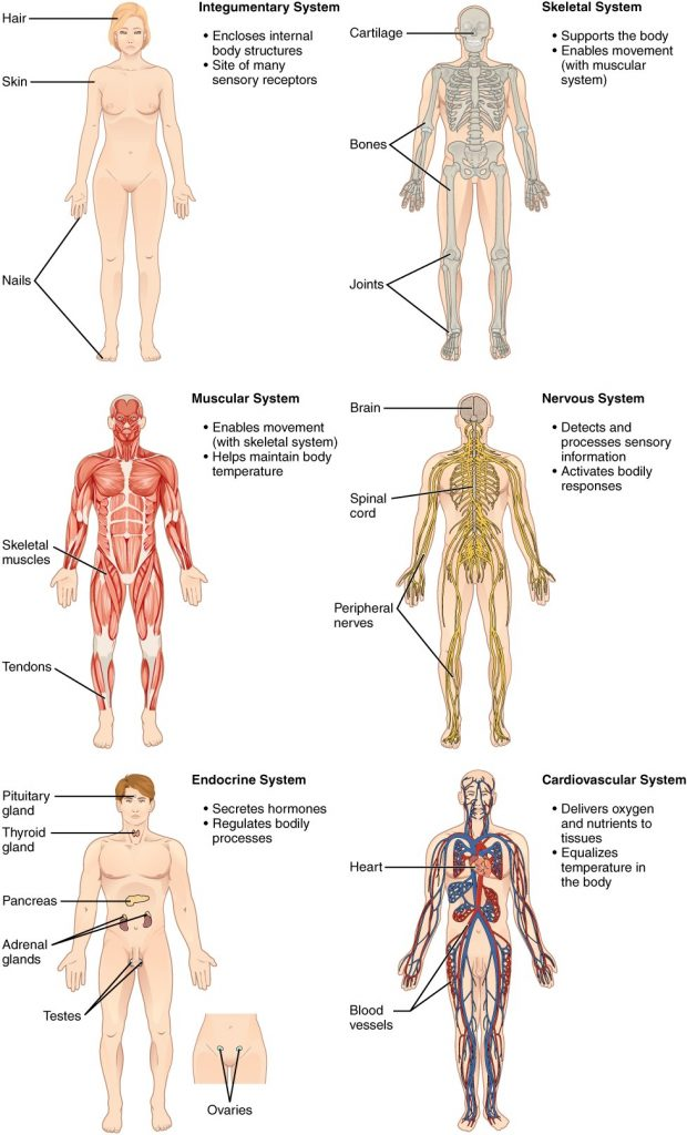 Organ systems in human body