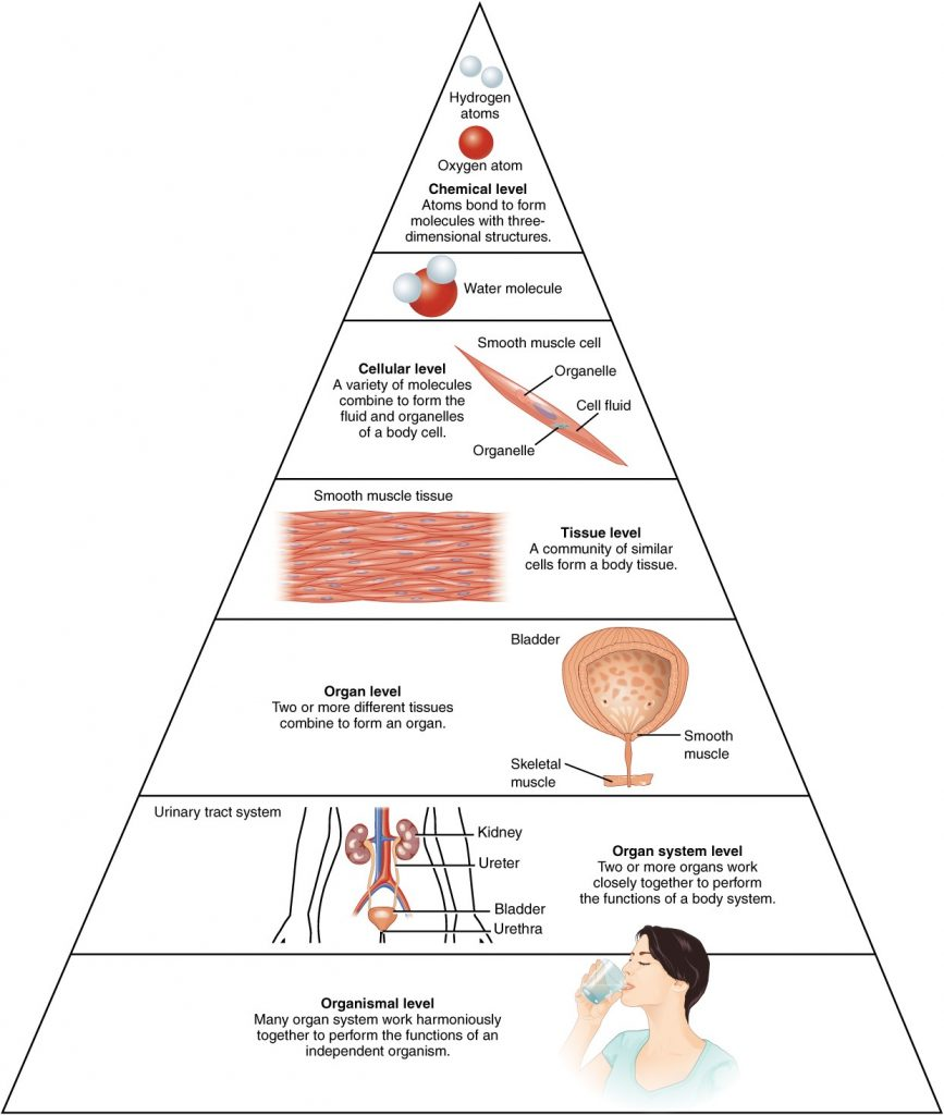 Levels of structure of human body