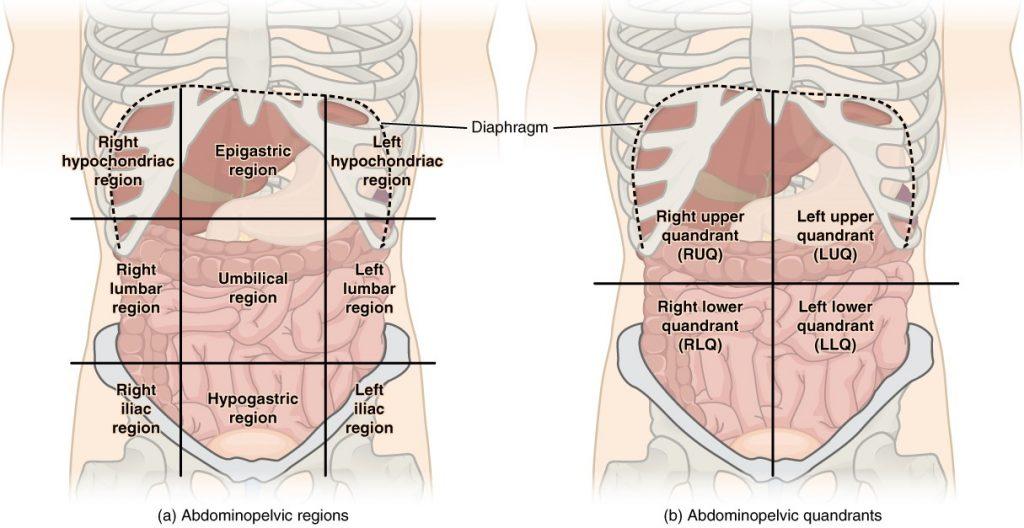 Regions and quadrants of the peritoneal cavity