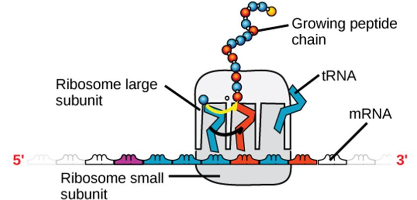 Diagram of ribosome