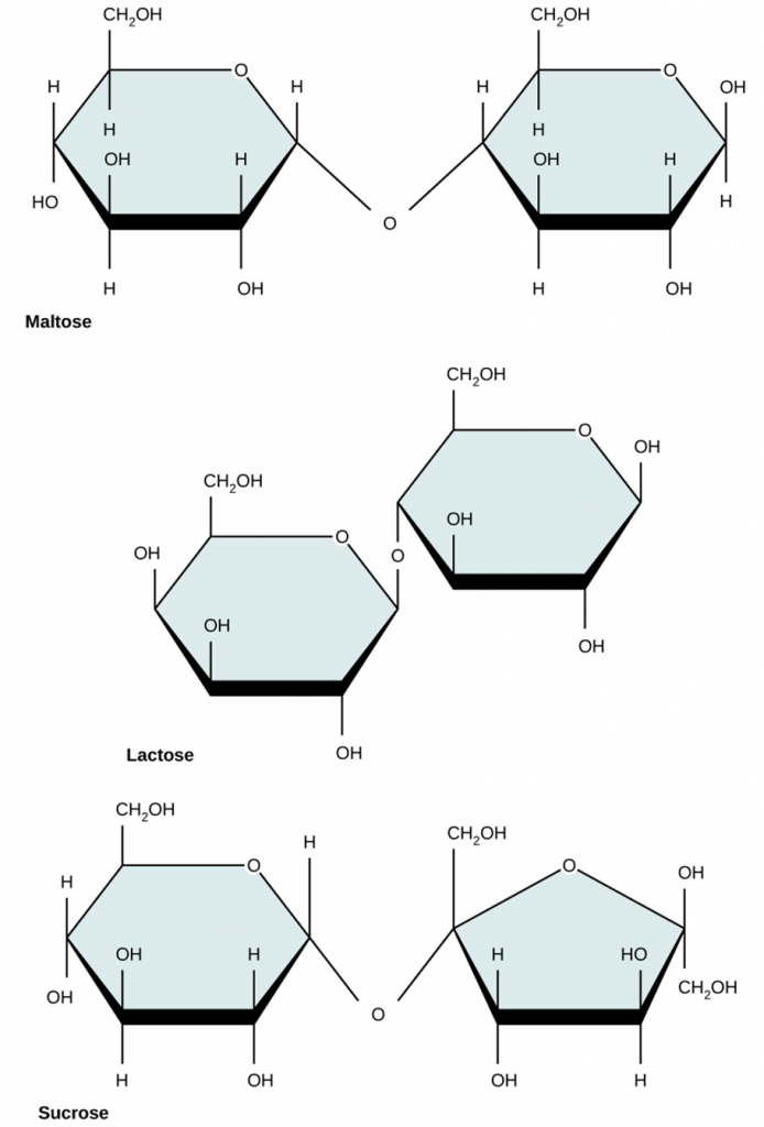 Figure 2.2.5. Common disaccharides. Common disaccharides include maltose (grain sugar), lactose (milk sugar) and sucrose (table sugar).