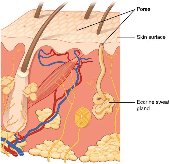 Diagram of eccrine gland