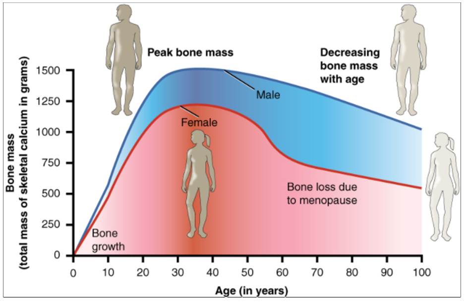 Graph showing relationship between age and bone mass.