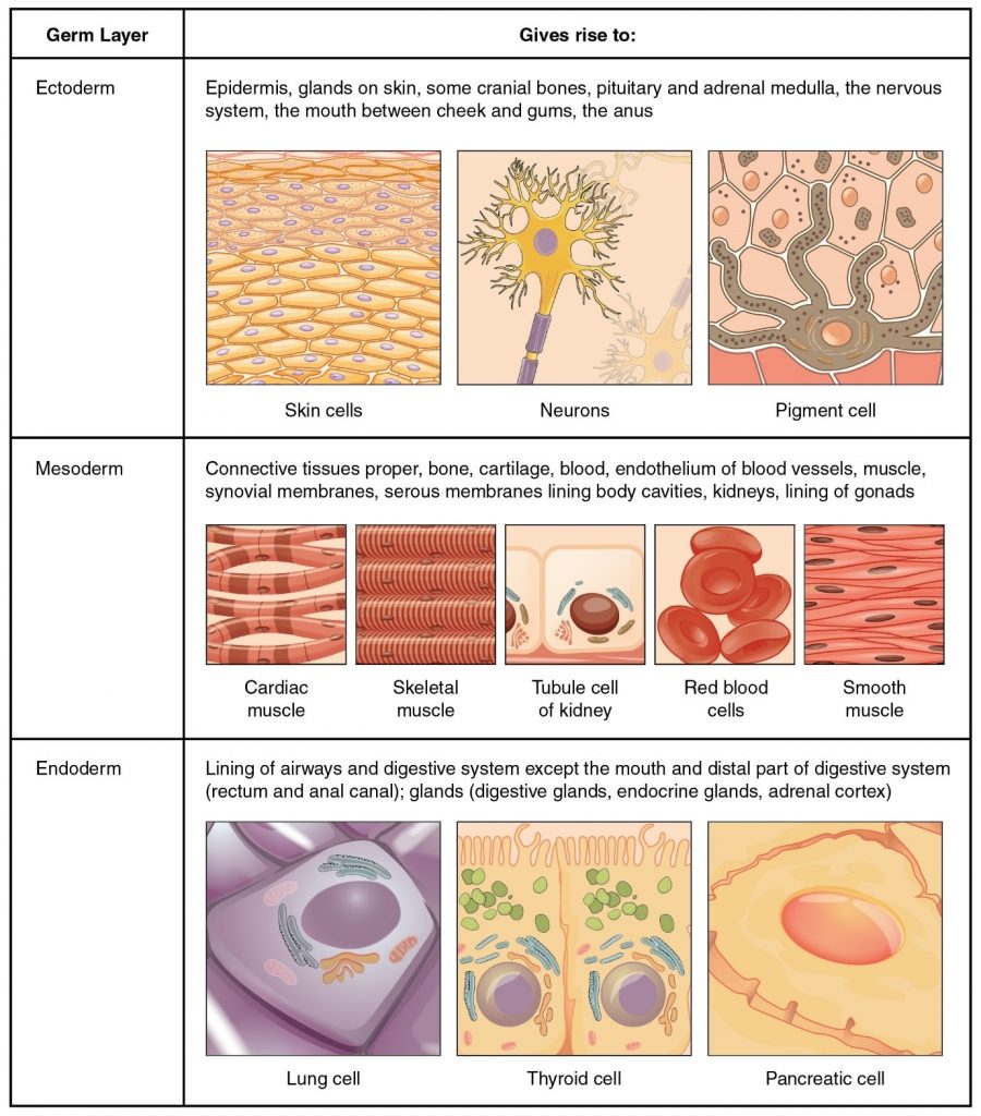 Diagram of origins of tissues dividied into Ectoderm, Mesoderm and Endoderm