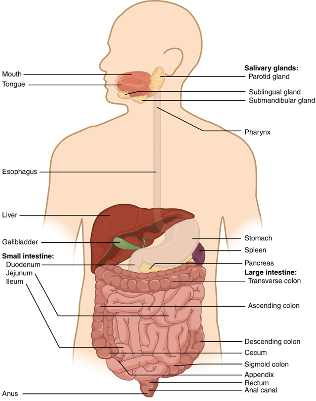 Diagram of Components of the digestive system.