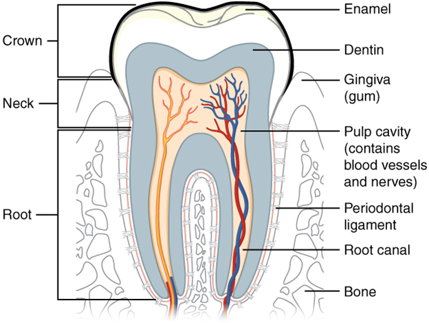 The Structure of the tooth.