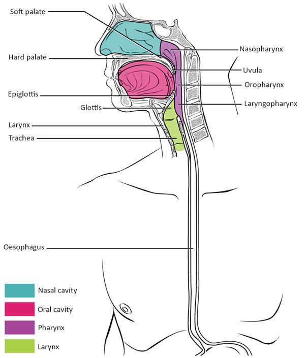 Diagram of Pharynx.