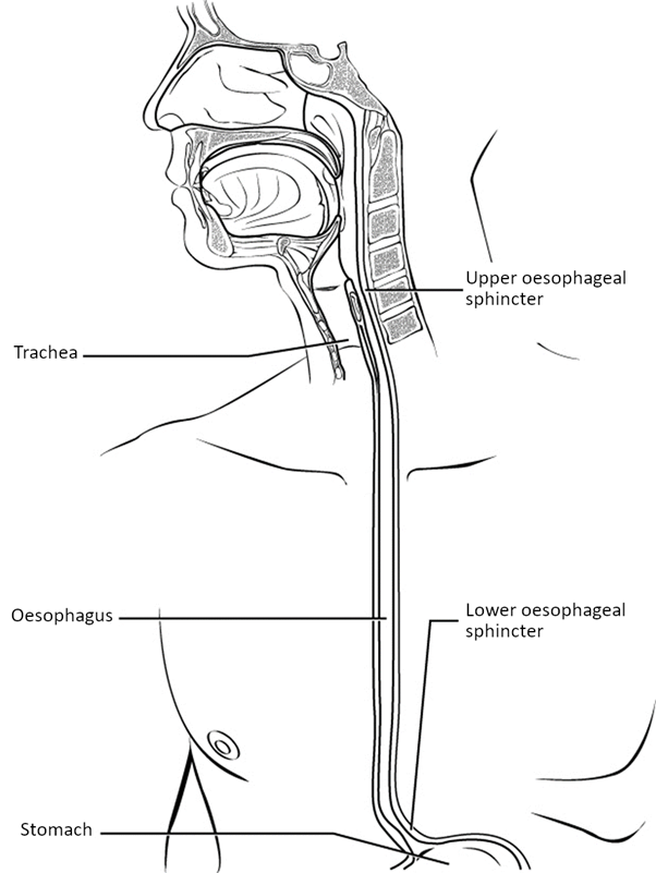 Diagram of Oesophagus.