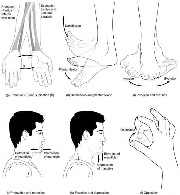 "(g) Supination of the forearm turns the hand to the palm forward position in which the radius and ulna are parallel, while forearm pronation turns the hand to the palm backward position in which the radius crosses over the ulna to form an ""X."" (h) Dorsiflexion of the foot at the ankle joint moves the top of the foot toward the leg, while plantar flexion lifts the heel and points the toes. (i) Eversion of the foot moves the bottom (sole) of the foot away from the midline of the body, while foot inversion faces the sole toward the midline. (j) Protraction of the mandible pushes the chin forward, and retraction pulls the chin back. (k) Depression of the mandible opens the mouth, while elevation closes it. (l) Opposition of the thumb brings the tip of the thumb into contact with the tip of the fingers of the same hand and reposition brings the thumb back next to the index finger."