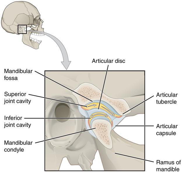Diagram of Temporomandibular joint.