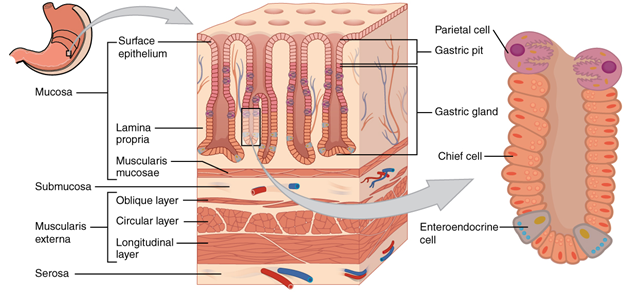 . Histology of the stomach