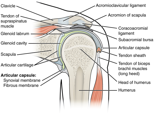 Diagram of Glenohumeral joint.