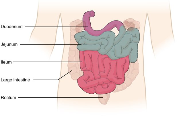 Diagram of small intestine