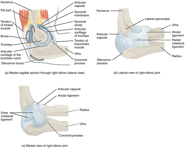 Figure 11.11.4. Elbow joint. (a) The elbow is a hinge joint that allows only for flexion and extension of the forearm. (b) It is supported by the ulnar and radial collateral ligaments. (c) The annular ligament supports the head of the radius at the proximal radioulnar joint, the pivot joint that allows for rotation of the radius.