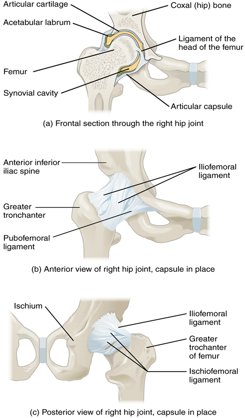 Figure 11.11.5. Hip joint. (a) The ball-and-socket joint of the hip is a multiaxial joint that provides both stability and a wide range of motion. (b–c) When standing, the supporting ligaments are tight, pulling the head of the femur into the acetabulum.