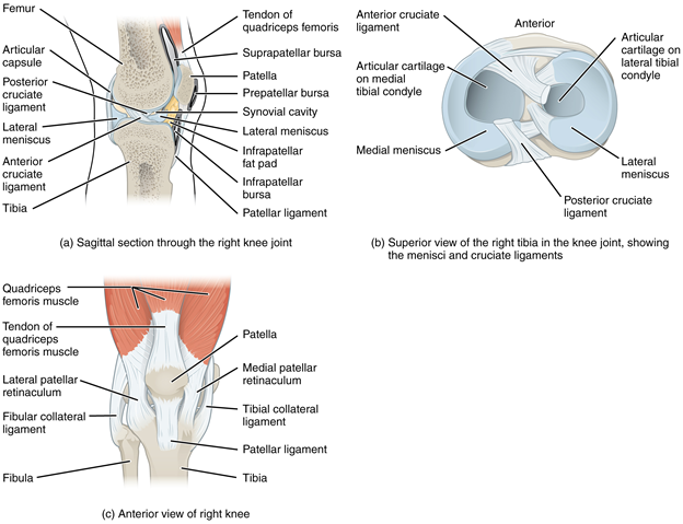 Figure 11.11.6. Knee joint. (a) The knee joint is the largest joint of the body. (b)–(c) It is supported by the tibial and fibular collateral ligaments located on the sides of the knee outside of the articular capsule, and the anterior and posterior cruciate ligaments found inside the capsule. The medial and lateral menisci provide padding and support between the femoral condyles and tibial condyles.