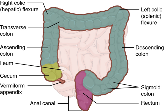 Diagram of large intestine