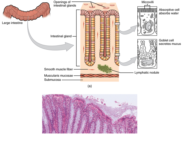 Histology of the large intestine. (a) The histologies of the large intestine and small intestine (not shown) are adapted for the digestive functions of each organ. (b) This micrograph shows the colon's simple columnar epithelium and goblet cells