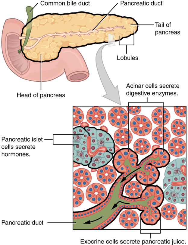 Exocrine and endocrine pancreas