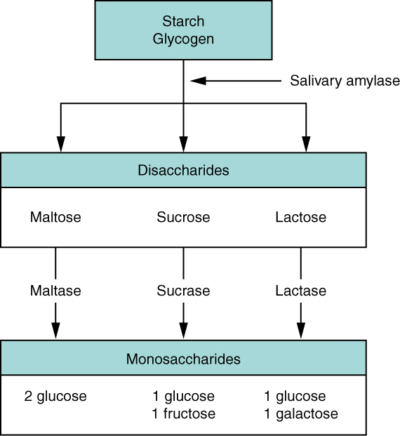 Carbohydrate digestion flow chart