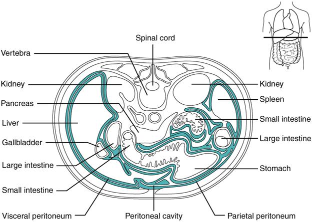 Diagram of The peritoneum